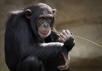 Black monkey holding on brown stick