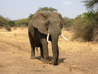 Gray elephant waking on withered grass field at day time