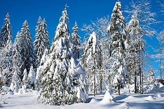 Green trees covered with snowy during winter season