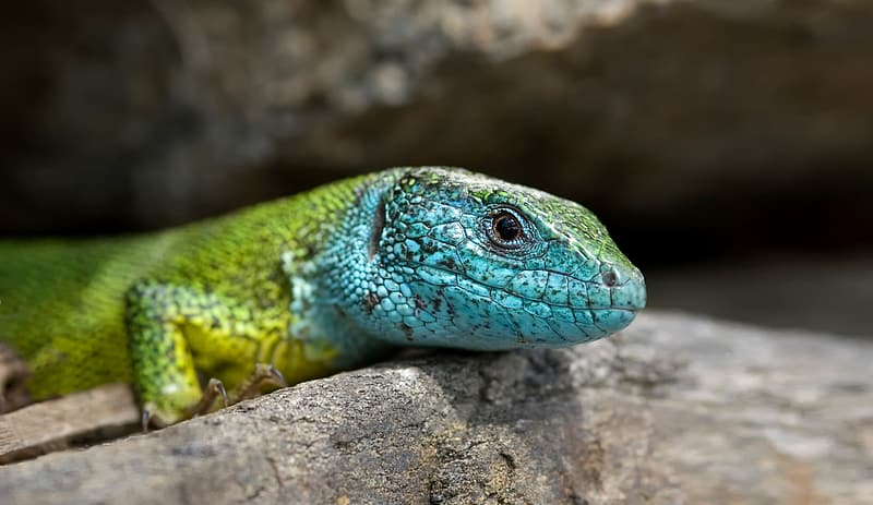 Green and blue lizard on brown rock