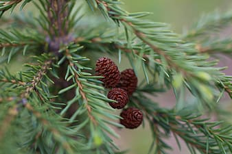Selective focus photography of brown pinecone