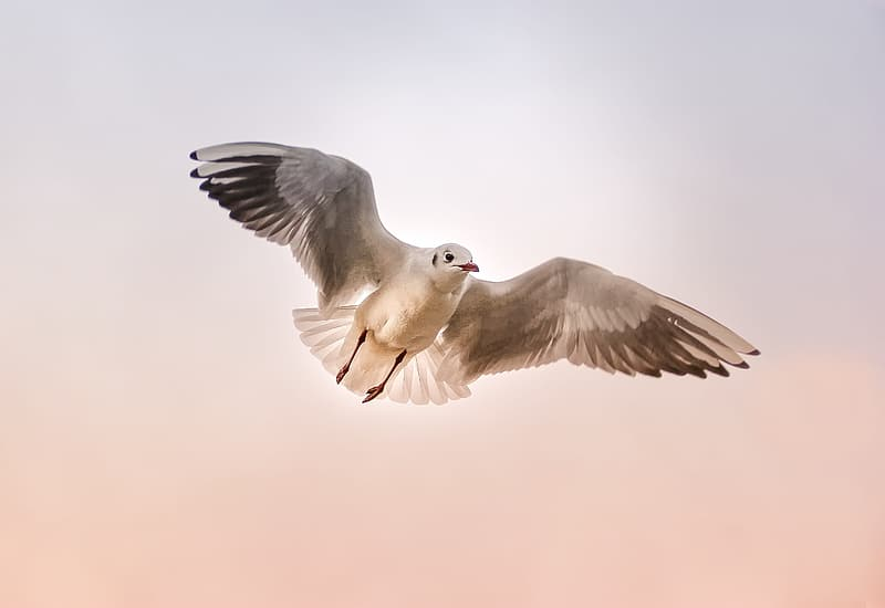 White and black seagull in flight