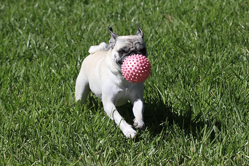 Fawn pug carrying red ball on grass field