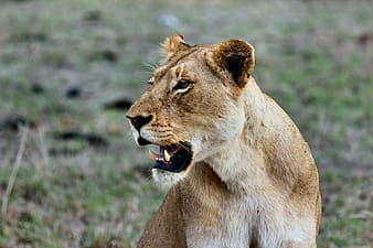 Brown lioness on green grass during daytime