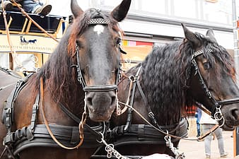 Two brown horses with harness