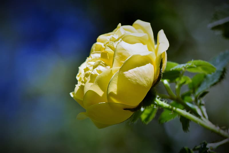 Yellow rose in bloom during daytime