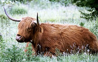 Photo of brown yak on grass