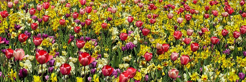 Red-and-purple tulip field