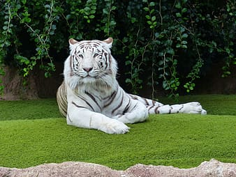 White and black tiger lying on green grass during daytime