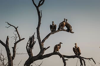 Photo of group of vulture on leafless tree