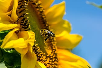 Honey bee hovering by blooming yellow sunflower in search for nectar