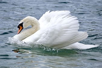White swan on body of water at daytime
