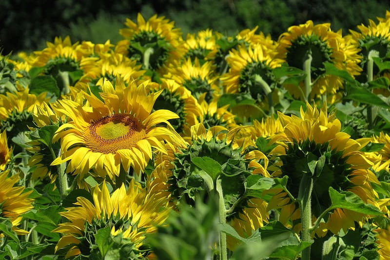 Selective focus photography of yellow sunflowers