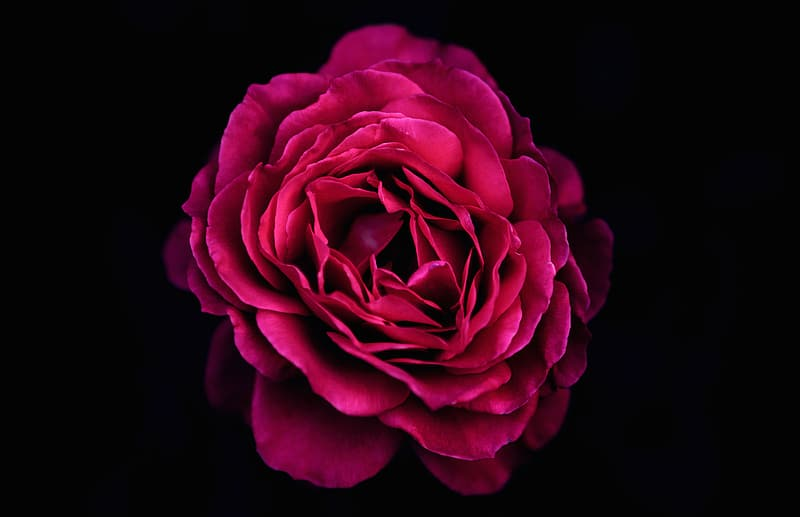 Red rose flower with black background