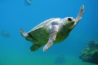 Brown and green turtle under water