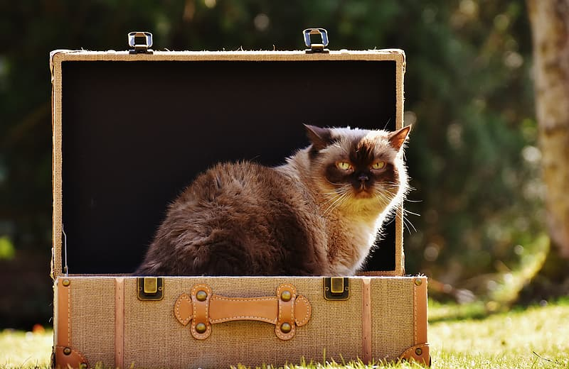 Mainecon cat on luggage