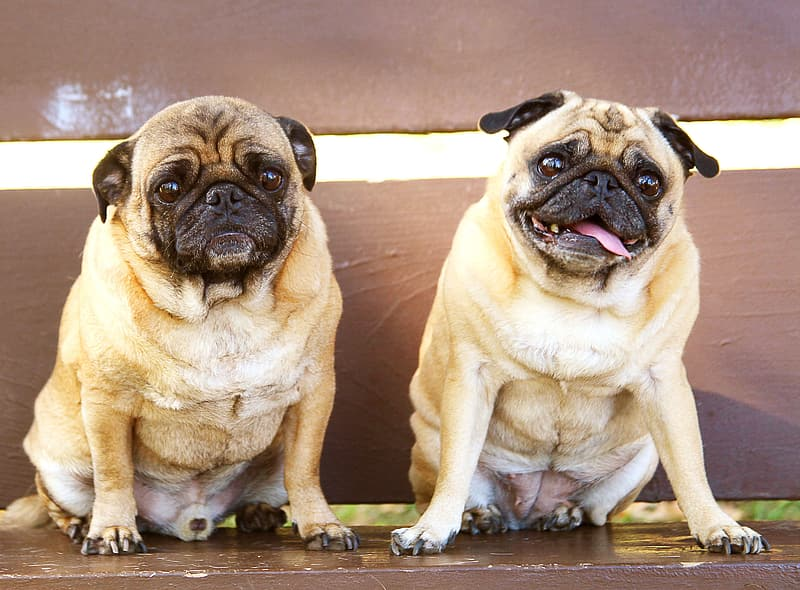 Two adult fawn pugs near to each other sitting on brown wooden surface