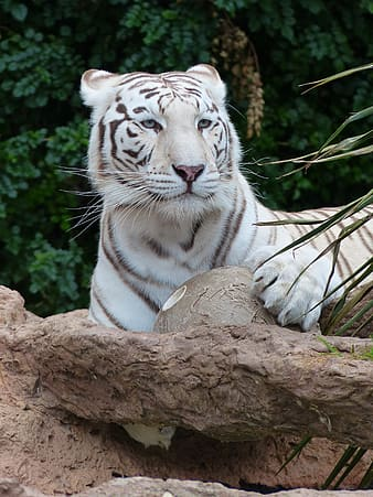 White and brown tiger sitting on ground
