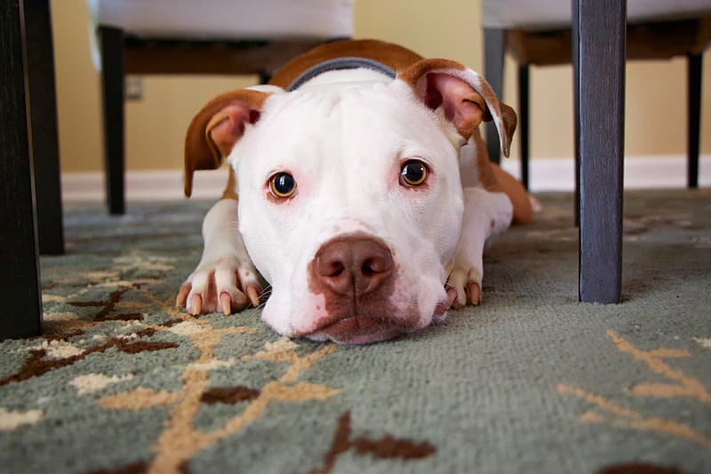 Adult tan and white American pit bull terrier near the dining chair