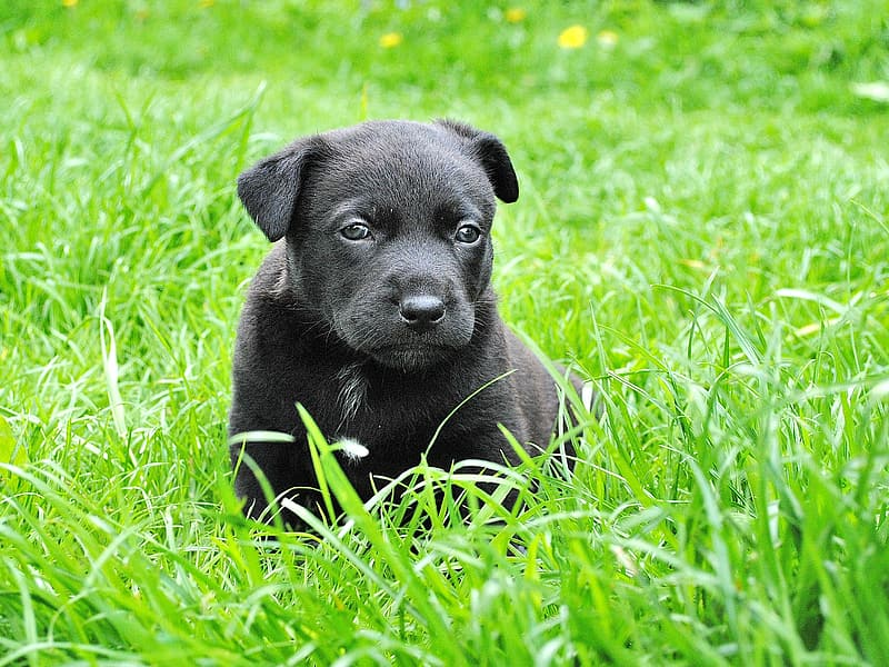 Black coated puppy