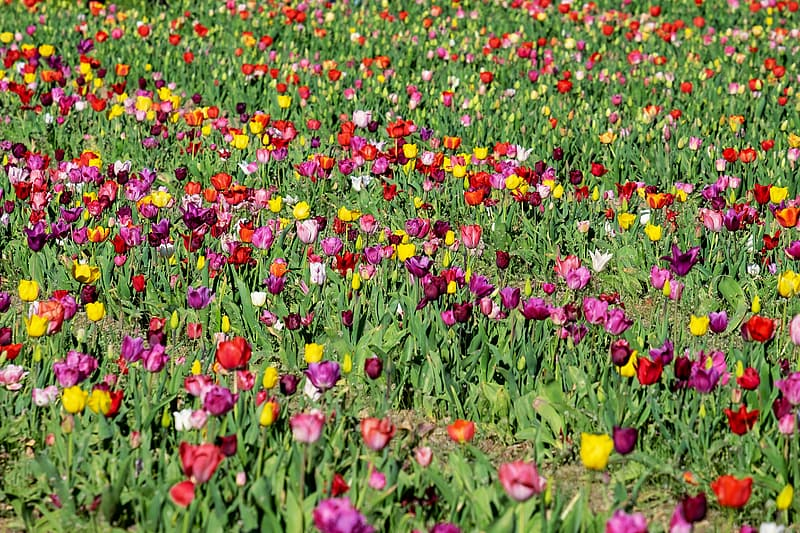Assorted-color tulip flower field at daytime
