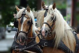 Two brown horses with black leather collars