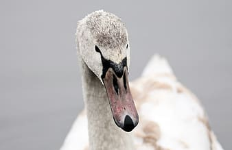 White and gray duck