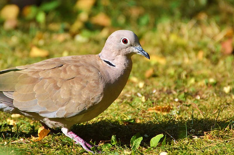 Close-up photography of Eurasian collared dove on green grass
