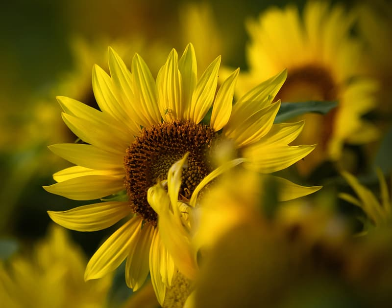 Selective focus photography of bloomed yellow sunflower