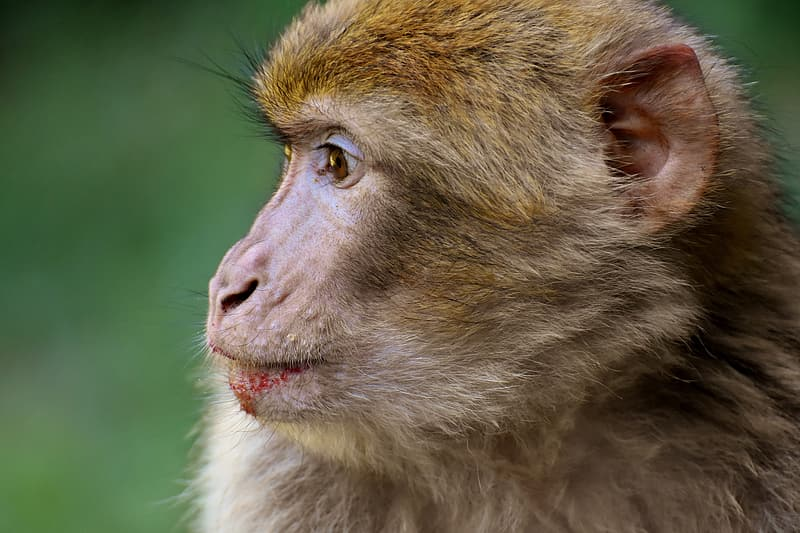 Brown monkey with green eyes