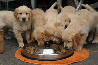 Pack of beige puppies in front of pet dish