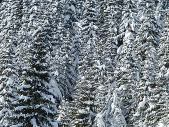 Landscape photography of pine trees