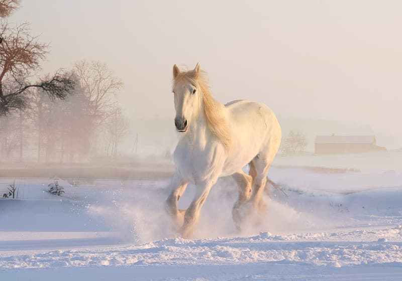 White horse running on the snow
