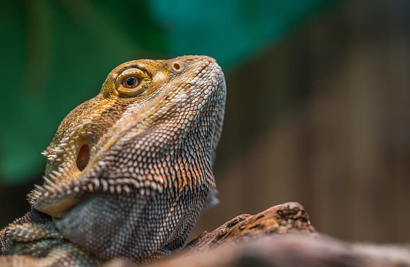 Close-up photography of brown iguana