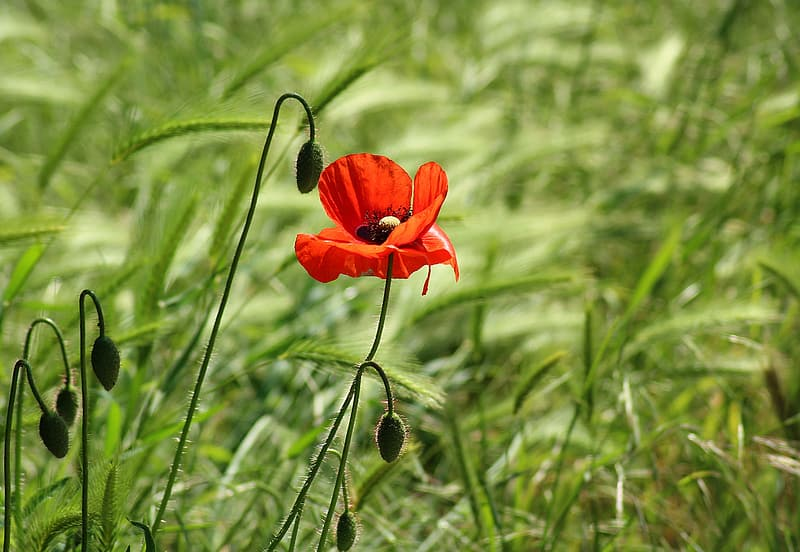 Selective focus photography of red poppy flower