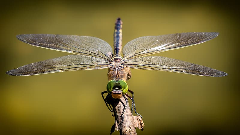 Brown and green dragonfly perching on tree branch