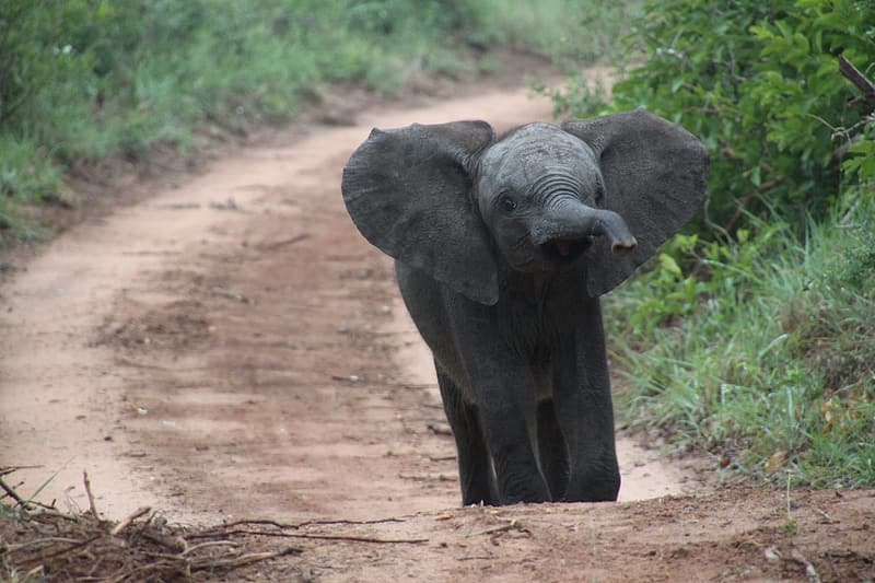 Gray elephant on brown road near green grass