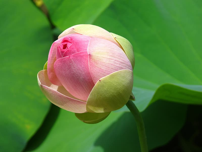 Pink and green petaled flower close-up photography