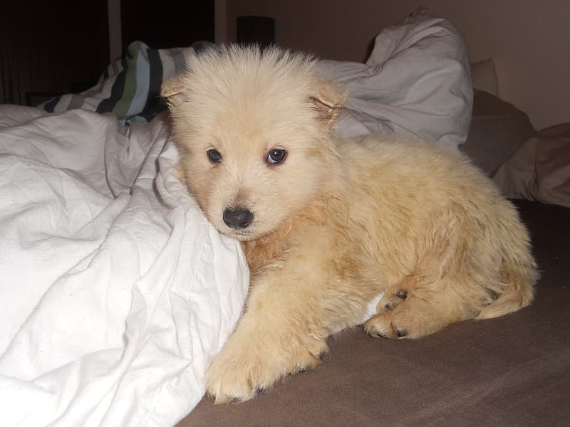 Short-coated fawn puppy beside the white textile