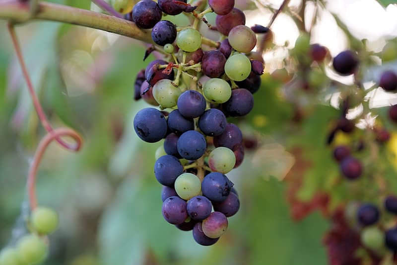 Selective focus photography of purple and green grape fruits