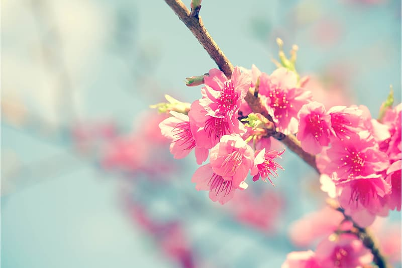 Pink cherry blossom flower selective focus photography