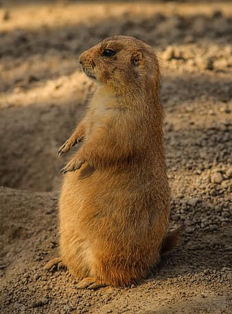 Brown rodent standing on sand