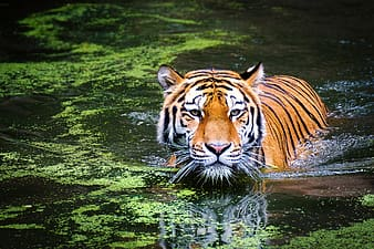 Bengal tiger swimming across water with algae