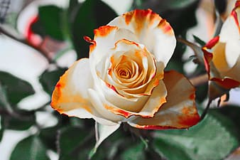 Closeup photography of white with orange tip rose flower