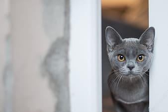 Russian blue cat looking at the window