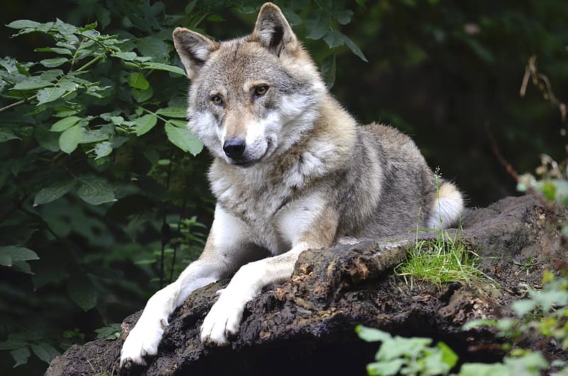Gray and white wolf lying on wooden surface