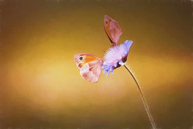 Two brown-and-orange butterfly perching on blue flower in close-up photography