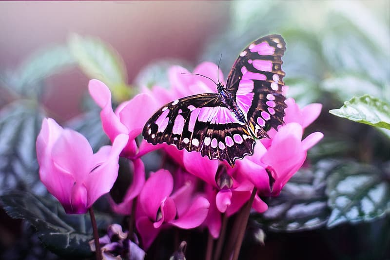 Black and pink butterfly on pink petaled flower
