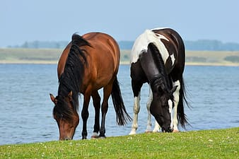 Two brown and white horse near body of water during daytime