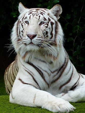 White tiger laying on green grass during daytime
